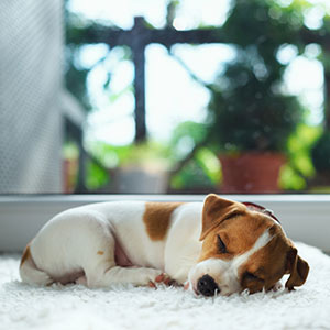 Practicing good sleep health, a beagle rests peacefully on white carpet next to a window.